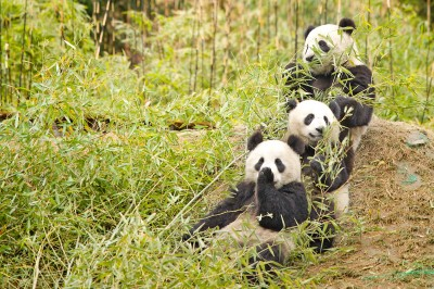 SICHUAN - Volunteering at the Giant Panda Reserve